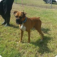Adopt A Pet :: Nyle - Austin, TX