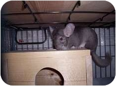 Chinchilla for adoption in Avondale, Louisiana - Hermoine