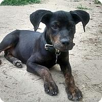 Adopt A Pet :: Dobie - richmond, VA
