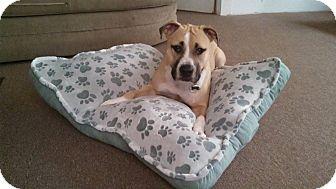 American Pit Bull Terrier/American Bulldog Mix Dog for adoption in Copperas Cove, Texas - Mowgli