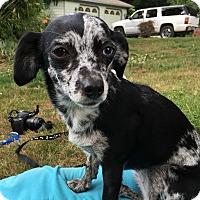 Adopt A Pet :: Willow - Tumwater, WA