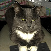 Domestic Longhair Cat for adoption in Montreal, Quebec - Josie