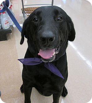 Labrador Retriever Dog for adoption in Manhattan, Kansas - Jax