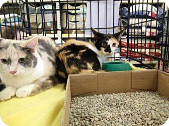 Domestic Shorthair Kitten for adoption in Avon, Ohio - Hallie