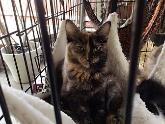 Calico Kitten for adoption in Monrovia, California - Robin