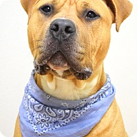 Pit Bull Terrier/Mastiff Mix Dog for adoption in Dublin, California - Pablo