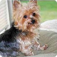 Adopt A Pet :: Buddy - Commerce TWP, MI