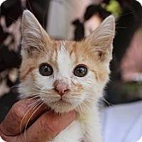 Adopt A Pet :: dempsey - Santa Monica, CA