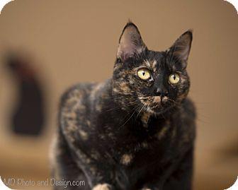 Domestic Shorthair Cat for adoption in Fountain Hills, Arizona - Chestnut