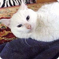 Adopt A Pet :: Purrl - Bentonville, AR