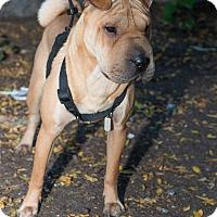 Adopt A Pet :: Belinda - New York, NY