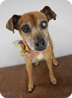 Chihuahua Mix Dog for adoption in Yukon, Oklahoma - Eva/ Matilda