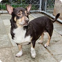 Adopt A Pet :: Kenzie - Chihuahua Mix - Midlothian, VA