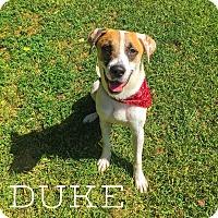 Adopt A Pet :: Duke - West Hartford, CT