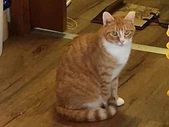 Domestic Shorthair Cat for adoption in Islip, New York - Sunny