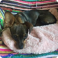Dachshund/Chihuahua Mix Dog for adoption in Tomball, Texas - Gia