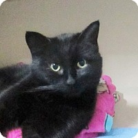 Domestic Shorthair Cat for adoption in Lloydminster, Alberta - Marshmallow