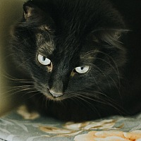 Adopt A Pet :: Shadow - Indianapolis, IN