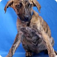 Adopt A Pet :: Nocturne - Waldorf, MD