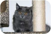 Russian Blue Cat for adoption in Stafford, Virginia - Sophie