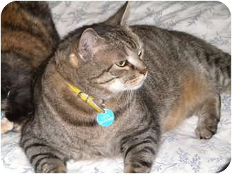 Domestic Shorthair Cat for adoption in Cleveland, Ohio - Leon