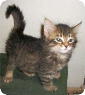 Maine Coon Kitten for adoption in Cocoa, Florida - Jabberwocky