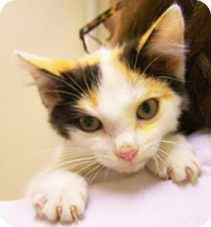 Domestic Shorthair Kitten for adoption in Toledo, Ohio - Hot Lips Hoolihan