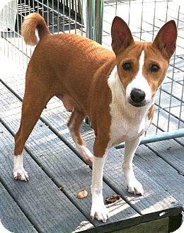 Basenji Dog for adoption in Seminole, Florida - Jack