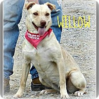 Adopt A Pet :: Willow - Lawrenceburg, TN