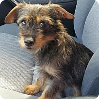 Adopt A Pet :: Sugar - Kingwood, TX