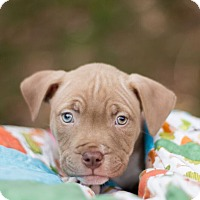 Adopt A Pet :: Delia - Reisterstown, MD