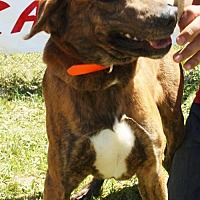 Boxer Mix Dog for adoption in Grayson, Louisiana - Samson