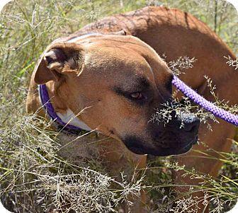 Boxer/Hound (Unknown Type) Mix Dog for adoption in Sierra Vista, Arizona - Rousy