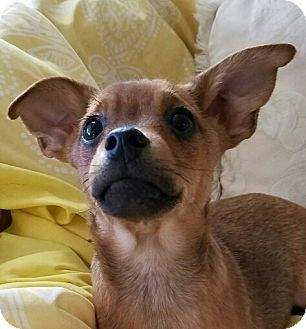 Dachshund/Terrier (Unknown Type, Small) Mix Puppy for adoption in Monrovia, California - Chase