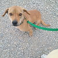 Labrador Retriever/Mixed Breed (Small) Mix Dog for adoption in Calgary, Alberta - BEN