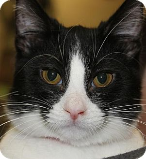 Domestic Shorthair Cat for adoption in Clayton, New Jersey - BIANCA