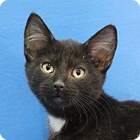 Adopt A Pet :: Olive - Overland Park, KS