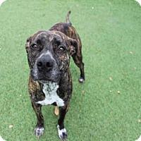 Adopt A Pet :: SHELLBY - Orlando, FL