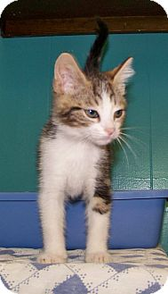 Domestic Shorthair Kitten for adoption in Dover, Ohio - Davey