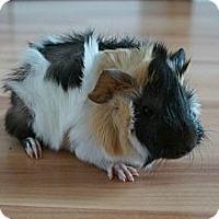 Adopt A Pet :: Lenny - Brooklyn Park, MN