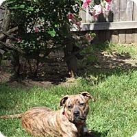 Adopt A Pet :: Amber - Framingham, MA