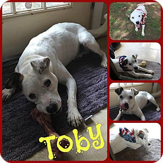 Jack Russell Terrier/Terrier (Unknown Type, Small) Mix Dog for adoption in Ft Worth, Texas - Toby