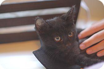 Domestic Shorthair Kitten for adoption in Los Angeles, California - Batman