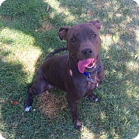 Pit Bull Terrier/American Staffordshire Terrier Mix Dog for adoption in Cheyenne, Wyoming - Mary/Siren