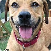 Labrador Retriever Mix Dog for adoption in Tomball, Texas - Daisy