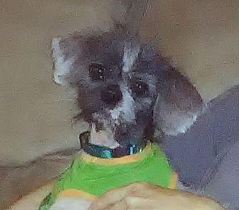 Shih Tzu Mix Dog for adoption in Lehigh Acres, Florida - Sir Gasper