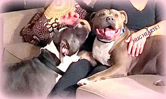 American Staffordshire Terrier/American Pit Bull Terrier Mix Dog for adoption in Hermosa, California - Blue Enzo