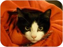Domestic Shorthair Cat for adoption in Fredericton, New Brunswick - Ash
