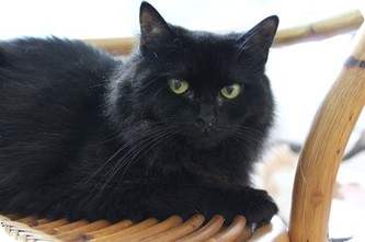 Persian Cat for adoption in Huntington Station, New York - JULIETTE