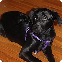 Adopt A Pet :: Precious Prim - Brooklyn, NY